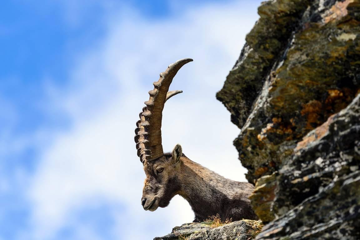 Ziege auf dem Matterhorn - Aostatal